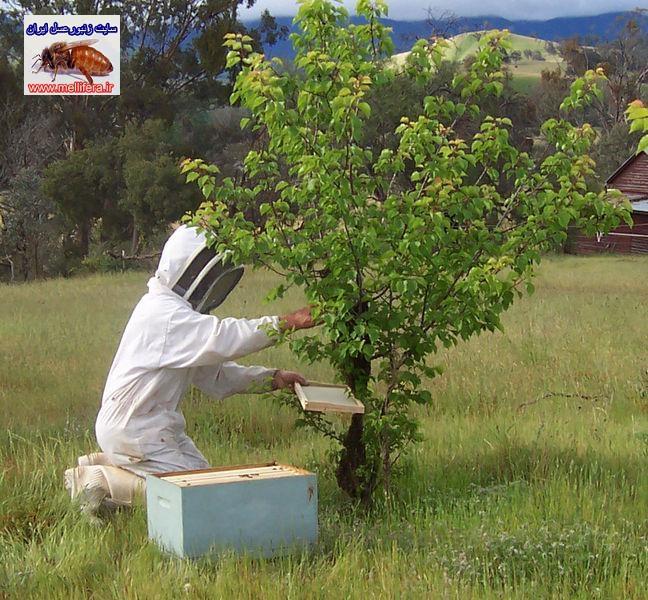 پس بچه زنبورعسل  بچه كندو