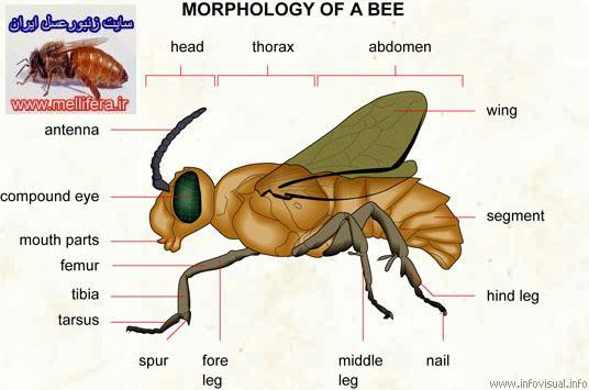 سينه زنبورعسل